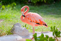 Pink flamingo in wildlife Royalty Free Stock Photos