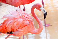 Pink flamingo in wildlife park