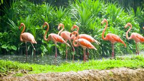 Pink flamingo in zoo stock video footage