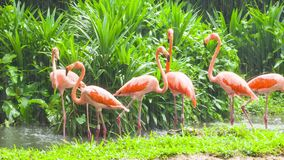 Pink flamingo in zoo stock footage