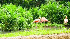 Pink flamingo in zoo stock video