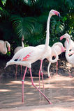 Pink flamingoes Royalty Free Stock Photo