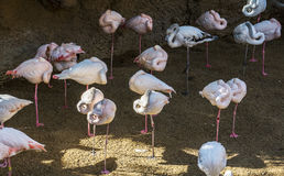 Pink flamingoes in animal park Stock Images