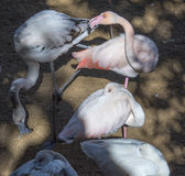 Pink flamingoes in animal park Stock Photos