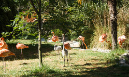 Pink flamingoes colony Stock Photos