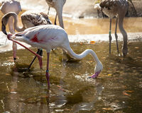 Pink flamingoes drinking water Stock Photo