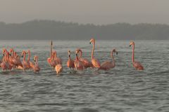 Pink flamingos family at dawn. Pink flamingoes gather at dawn before setting off to start their day in the river stock photos