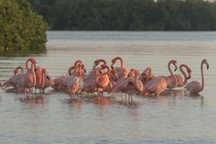 Pink flamingos family at dawn. Pink flamingoes gather at dawn before setting off to start their day in the river royalty free stock photo