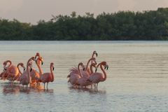 Pink flamingos family at dawn. Pink flamingoes gather at dawn before setting off to start their day in the river royalty free stock image