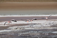 Pink flamingoes in lagoon Colorada, Altiplano, Bolivia Stock Photo