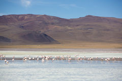 Pink flamingoes in lagoon Colorada, Altiplano, Bolivia Royalty Free Stock Images