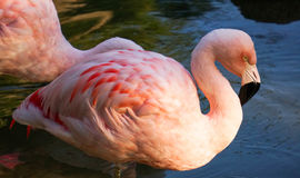 Pink Flamingoes in a Pond. One flamingo shot from the side, with another one behind it. Both standing in the water Royalty Free Stock Photography