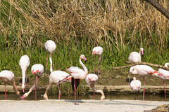 Pink flamingoes in pool Royalty Free Stock Photo