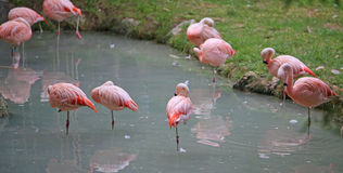 pink flamingoes are resting on one leg on the lake Royalty Free Stock Photos