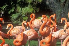Pink Flamingoes, San Diego Zoo, CA Royalty Free Stock Photo