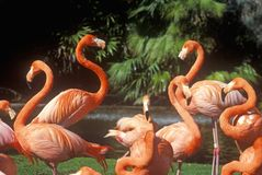 Pink Flamingoes, San Diego Zoo, CA Stock Photo