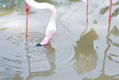 Pink Flamingoes2 Royalty Free Stock Image