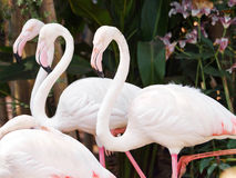 Pink Flamingoes Stock Image