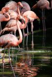 Pink Flamingoes wading. A flock of pink flamingo birds wading in the water in search for food. Pink and green hues royalty free stock images