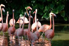 Pink Flamingoes wading. A flock of pink flamingo birds wading in the water in search for food. Pink and green hues stock photo