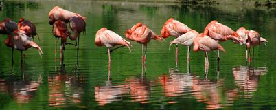 Pink Flamingos. In a pond stock image