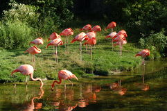 Pink Flamingos. And reflection.  Toronto Zoo Royalty Free Stock Photo