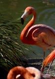 Pink Flamingos. Beautiful pink flamingos in natural habitat at city zoo Royalty Free Stock Photo