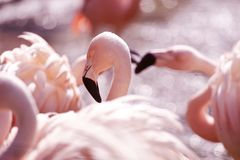 Pink Flamingos. Colony. Flamingos Often Stand on One Leg, the Other Tucked Beneath the Body Royalty Free Stock Photos