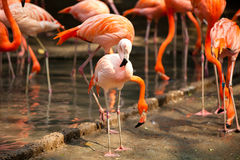 Pink Flamingos. A flock of pink flamingos in the water Stock Images