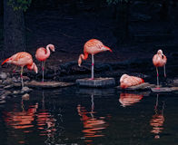 Pink Flamingos Stock Image