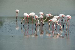 Pink flamingos Royalty Free Stock Image