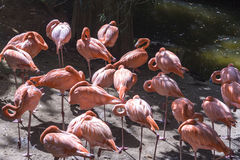 Pink Flamingos. Flock of pink flamingos beside a pond Stock Photo