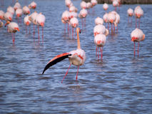 Pink flamingos. In Camargue National Park, France. (unesco world heritage site). Camargue, an alluvial plain in the Rhône delta is the only delta of its size Stock Photography