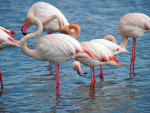 Pink flamingos. Pink flamingo  in Camargue National Park, France. (unesco world heritage site). Camargue, an alluvial plain in the Rhône delta is the only delta Royalty Free Stock Images