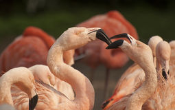 Pink flamingos. Flamingos are a type of wading bird Royalty Free Stock Photography