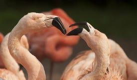 Pink flamingos. Flamingos are a type of wading bird Royalty Free Stock Image
