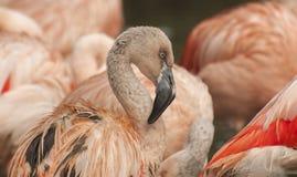 Pink flamingos. Flamingos are a type of wading bird Royalty Free Stock Photos