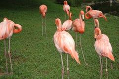 Pink flamingos. Flock of pink flamingos Stock Images