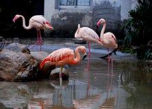 Pink Flamingos. Photoed at Shanghai Zoo while snowing Royalty Free Stock Images