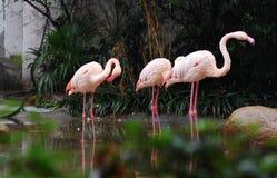 Pink Flamingos. Photoed at Shanghai Zoo China Royalty Free Stock Photography