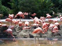 Pink Flamingos. In San Diego Zoo, California Stock Photography