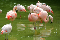 Pink flamingos. In pond Stock Image
