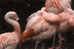 Pink flamingos Stock Photography