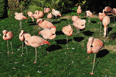 Pink Flamingos Royalty Free Stock Photos