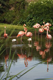 Pink Flamingos. Group of pink Flamingos in a park in Orlando, Florida Stock Photos