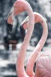 Pink flamingos against blurred background Stock Image