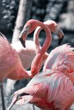 Pink flamingos against blurred background Stock Images