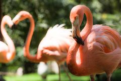 Pink flamingos against blurred background Royalty Free Stock Photography