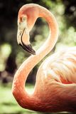 Pink flamingos against blurred background Royalty Free Stock Image