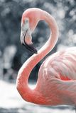 Pink flamingos against blurred background Stock Photography
